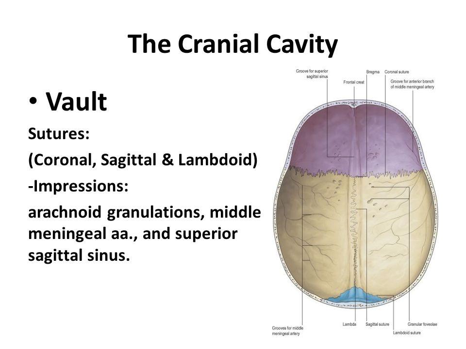 The Cranial Cavity Vault Sutures: (Coronal, Sagittal & Lambdoid)