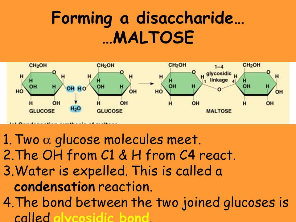 Forming a disaccharide…