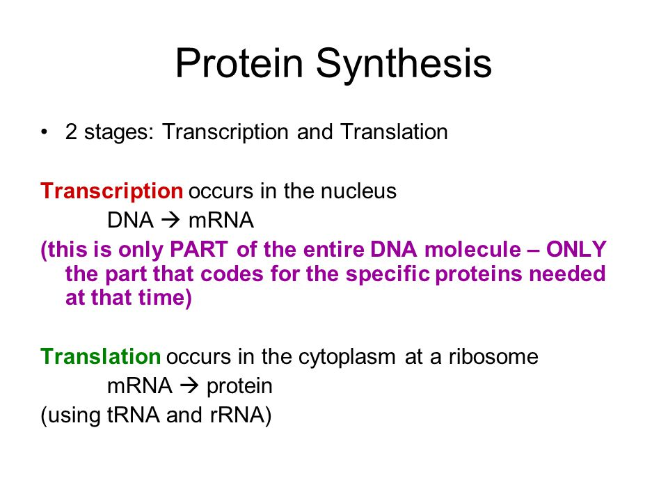 Protein Synthesis 2 stages: Transcription and Translation