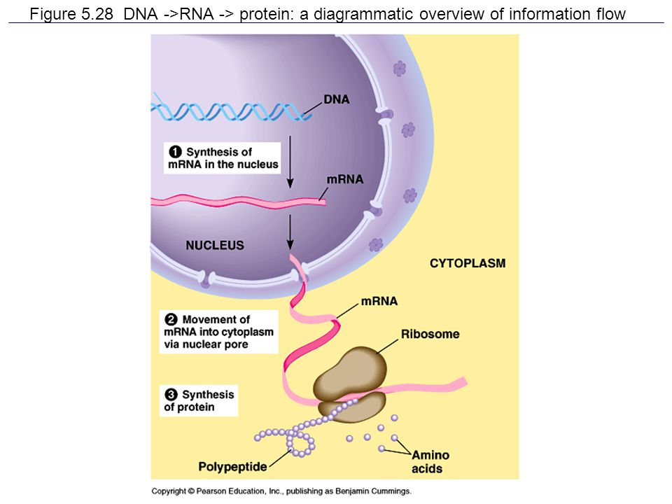 Figure 5.28 DNA ->RNA -> protein: a diagrammatic overview of information flow