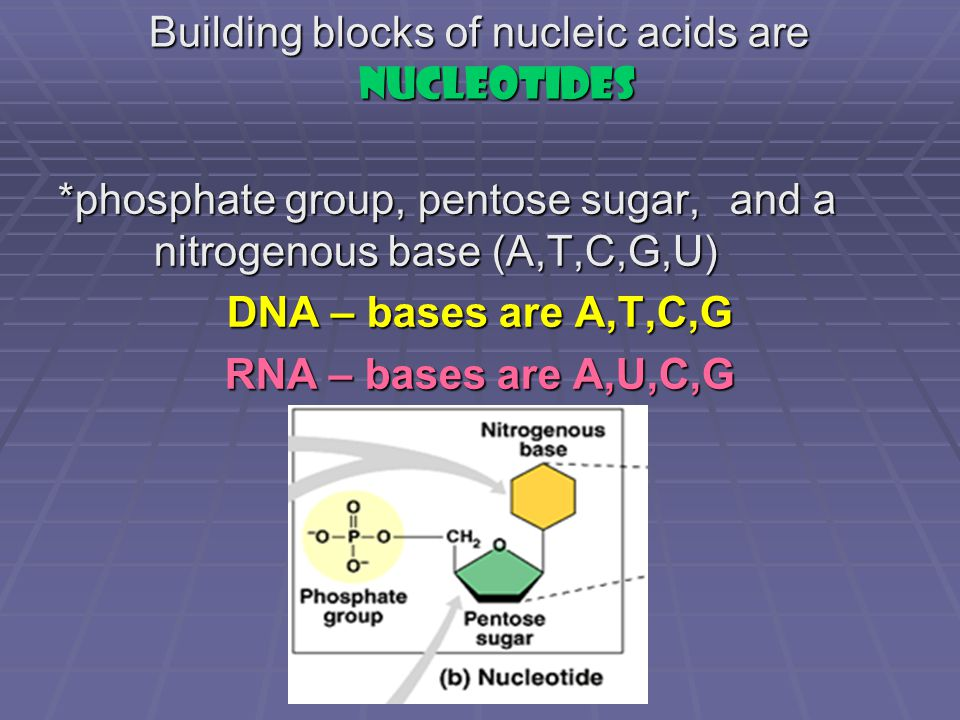 Building blocks of nucleic acids are nucleotides