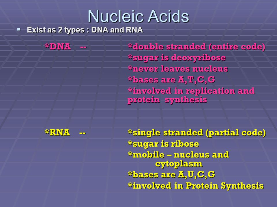 Nucleic Acids *sugar is deoxyribose *never leaves nucleus