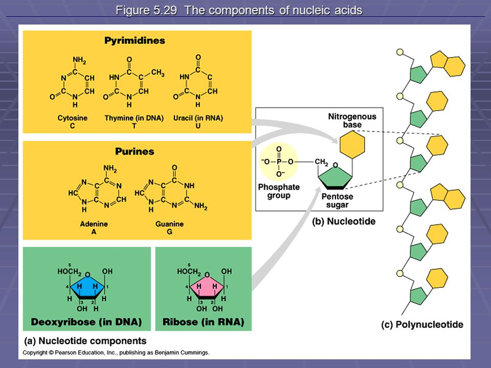 Figure 5.29 The components of nucleic acids