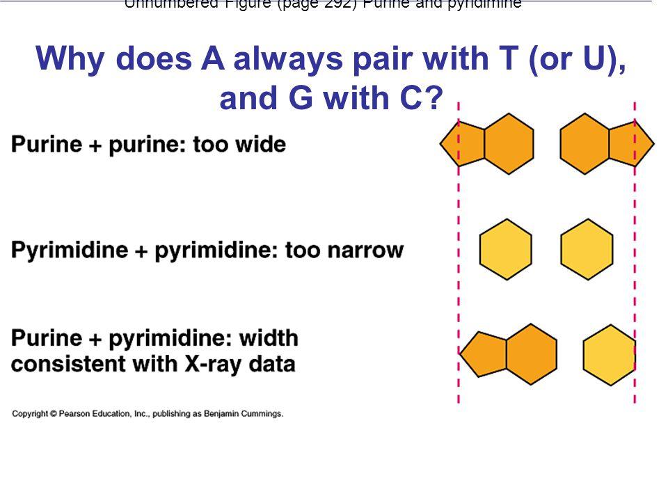 Unnumbered Figure (page 292) Purine and pyridimine