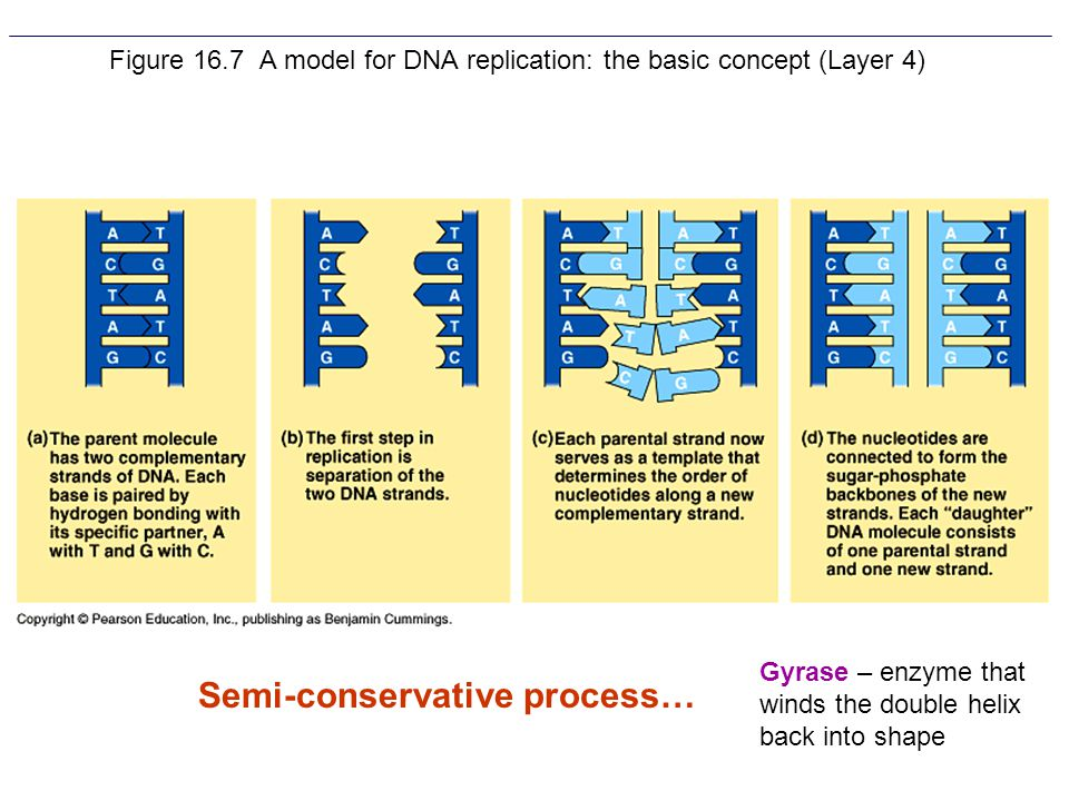 Figure 16.7 A model for DNA replication: the basic concept (Layer 4)