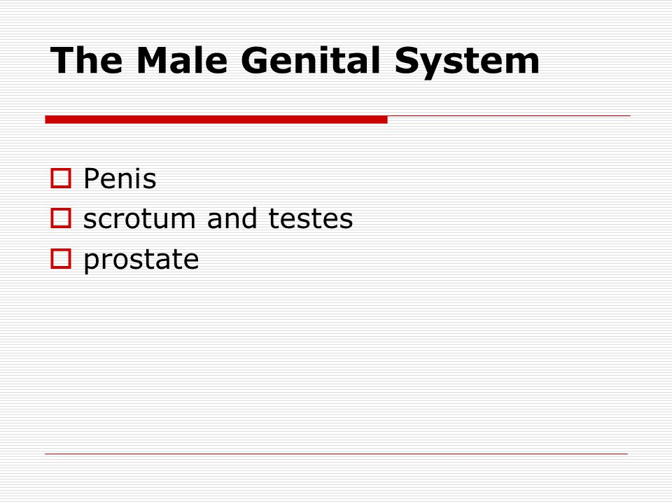 The Male Genital System