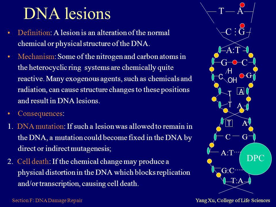 DNA lesions A C G … –A:T – G C DPC
