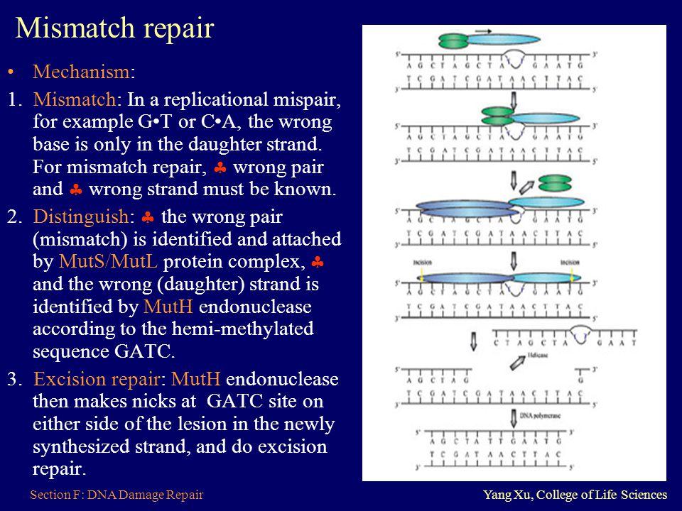 Mismatch repair Mechanism: