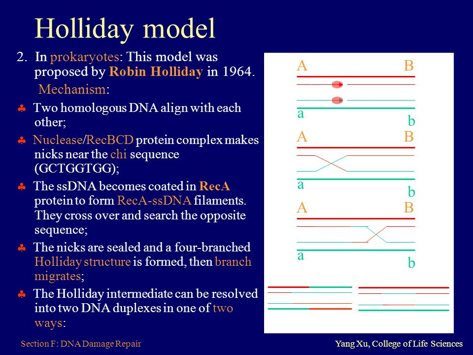 Holliday model 2. In prokaryotes: This model was proposed by Robin Holliday in 1964. Mechanism:  Two homologous DNA align with each other;
