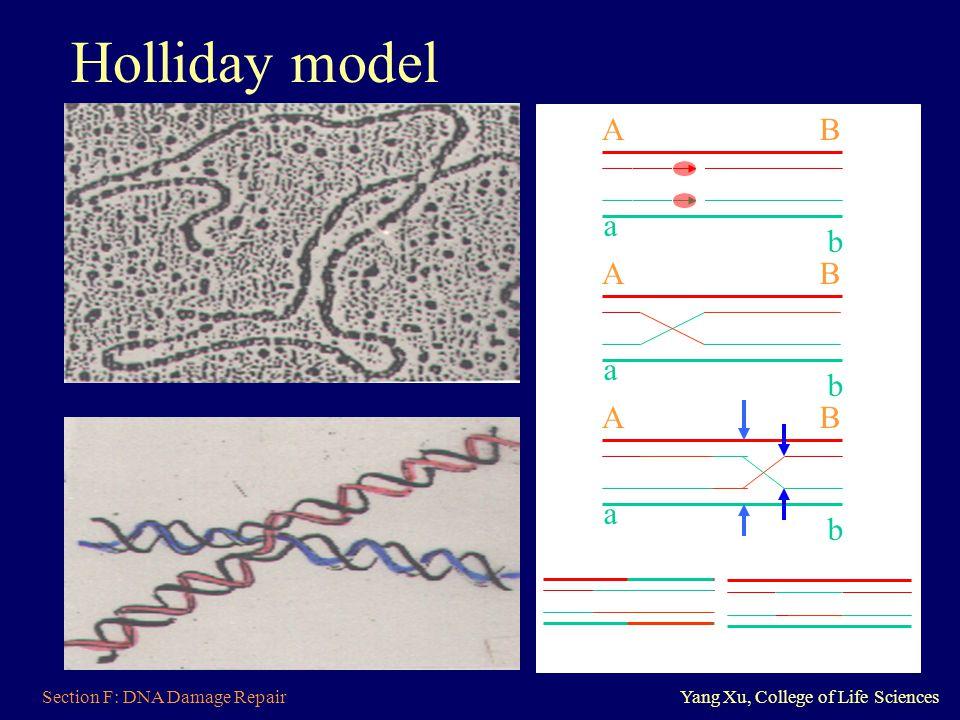 Holliday model A B a b A B a b A B a b Section F: DNA Damage Repair