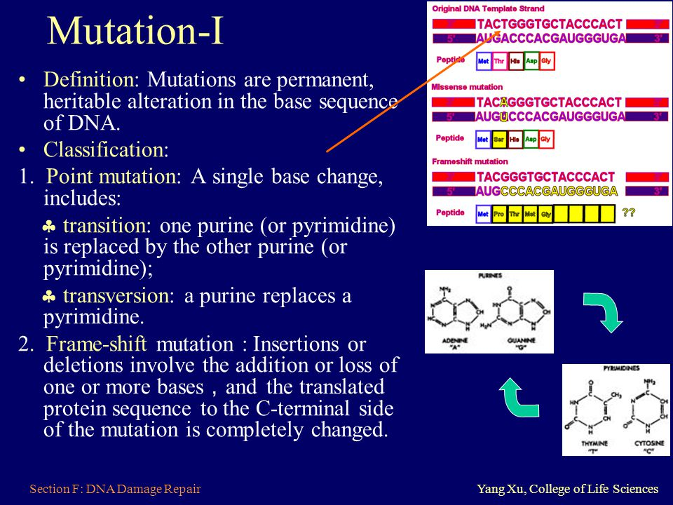 Mutation-I Definition: Mutations are permanent, heritable alteration in the base sequence of DNA. Classification: