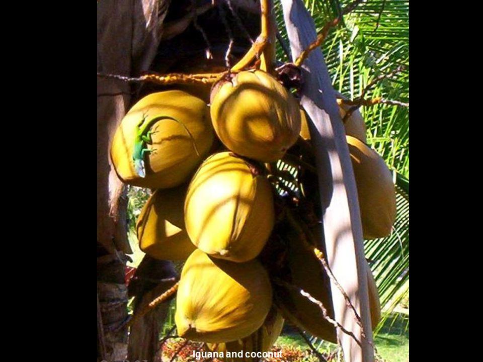 www.vitanoblepowerpoints.net Iguana and coconut