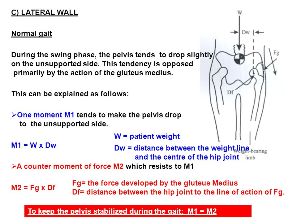 C) LATERAL WALL Normal gait. During the swing phase, the pelvis tends to drop slightly. on the unsupported side. This tendency is opposed.