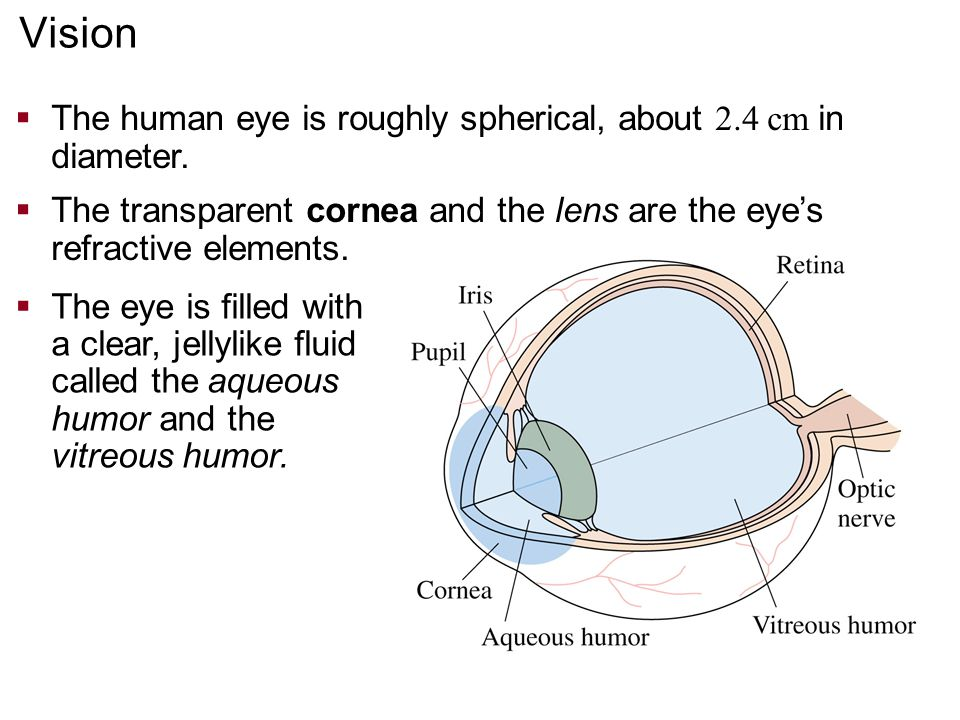Vision The human eye is roughly spherical, about 2.4 cm in diameter.