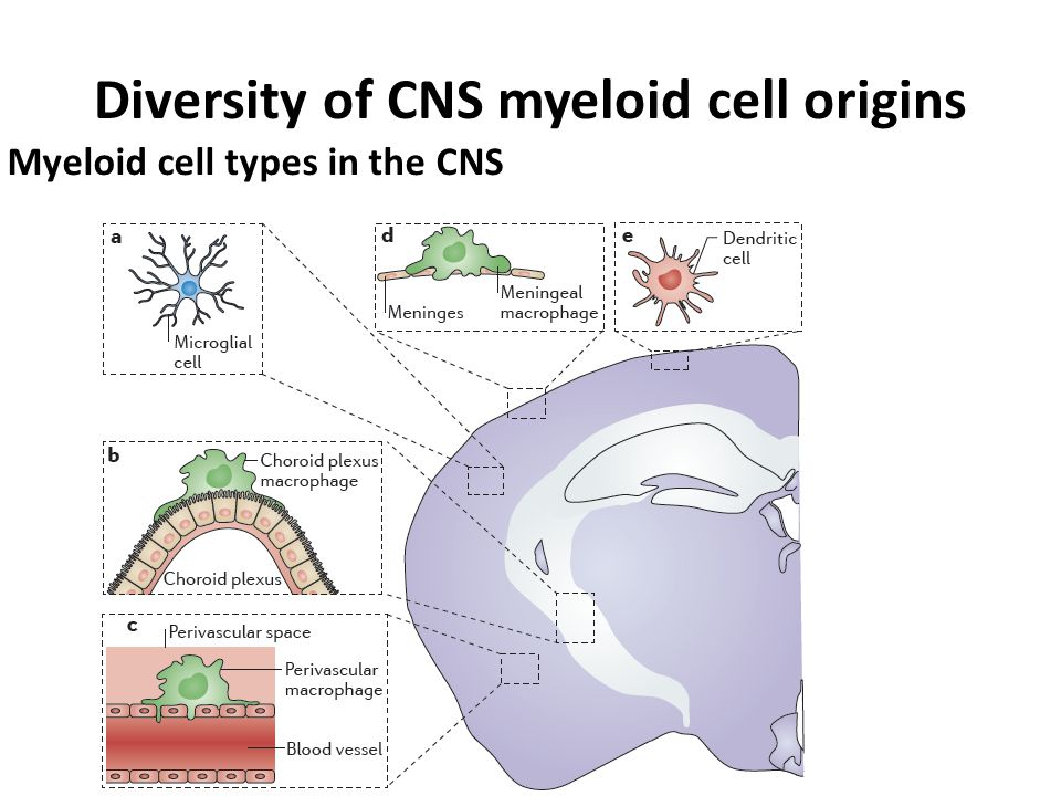 Diversity of CNS myeloid cell origins