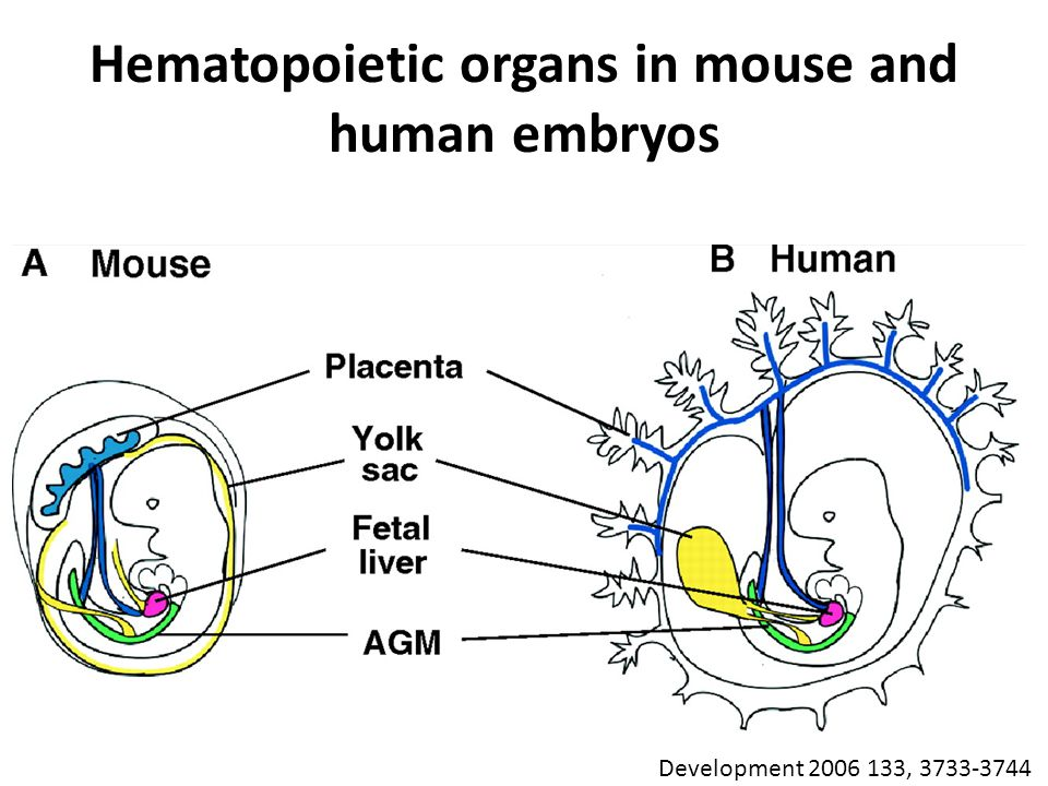 Hematopoietic organs in mouse and human embryos