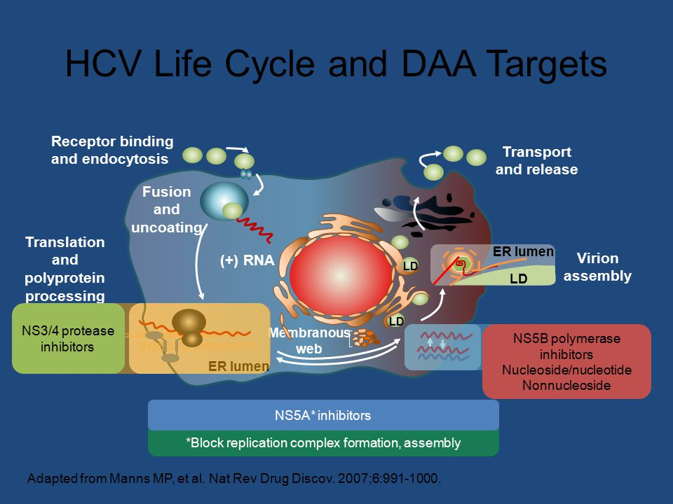 HCV Life Cycle and DAA Targets