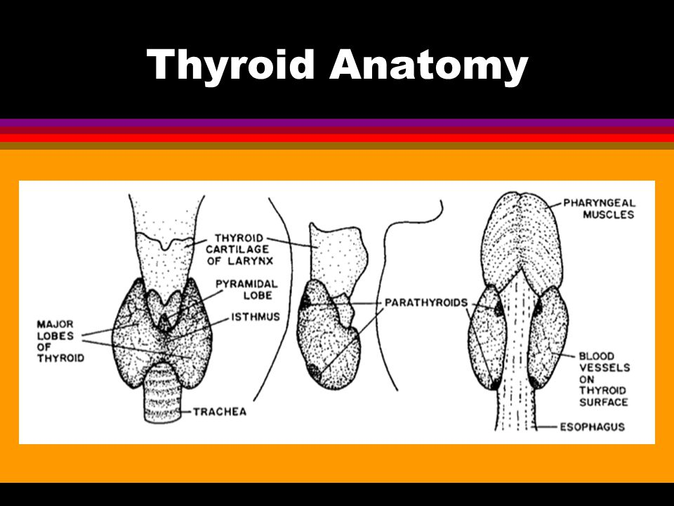 Thyroid Anatomy Healthy thyroid not palpable. Extends from C5 – T1.