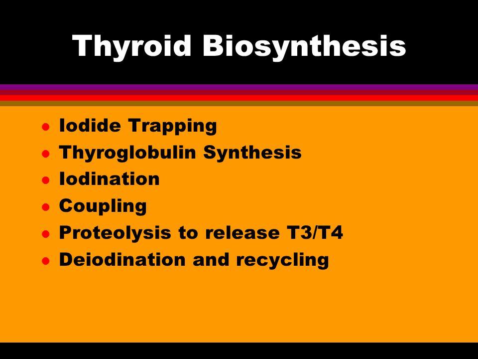 Thyroid Biosynthesis Iodide Trapping Thyroglobulin Synthesis