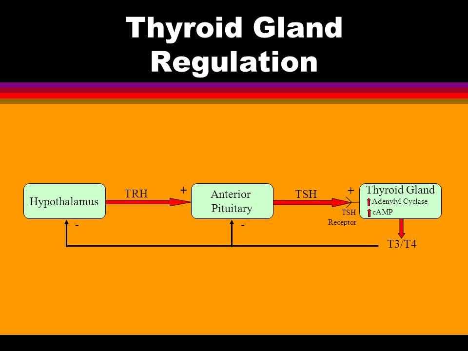 Thyroid Gland Regulation