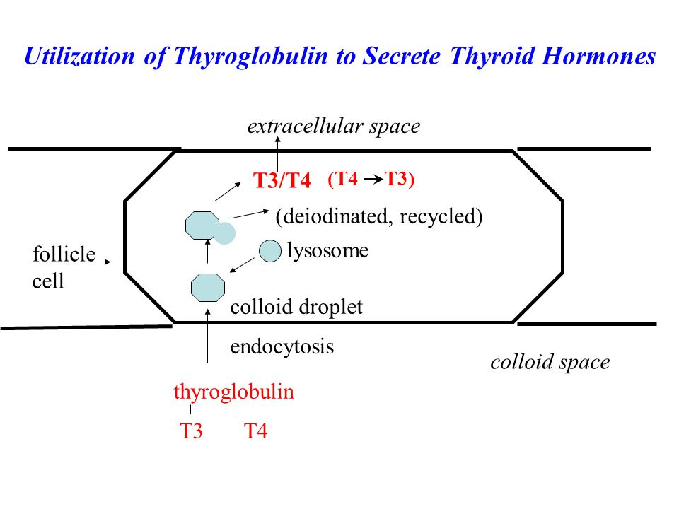 Utilization of Thyroglobulin to Secrete Thyroid Hormones