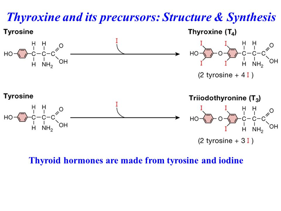 Thyroid hormones are made from tyrosine and iodine