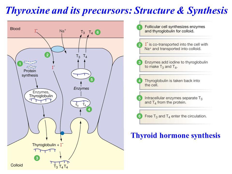 Thyroid hormone synthesis