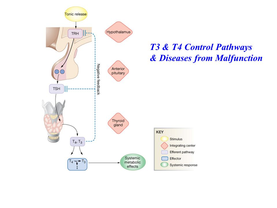 T3 & T4 Control Pathways & Diseases from Malfunction