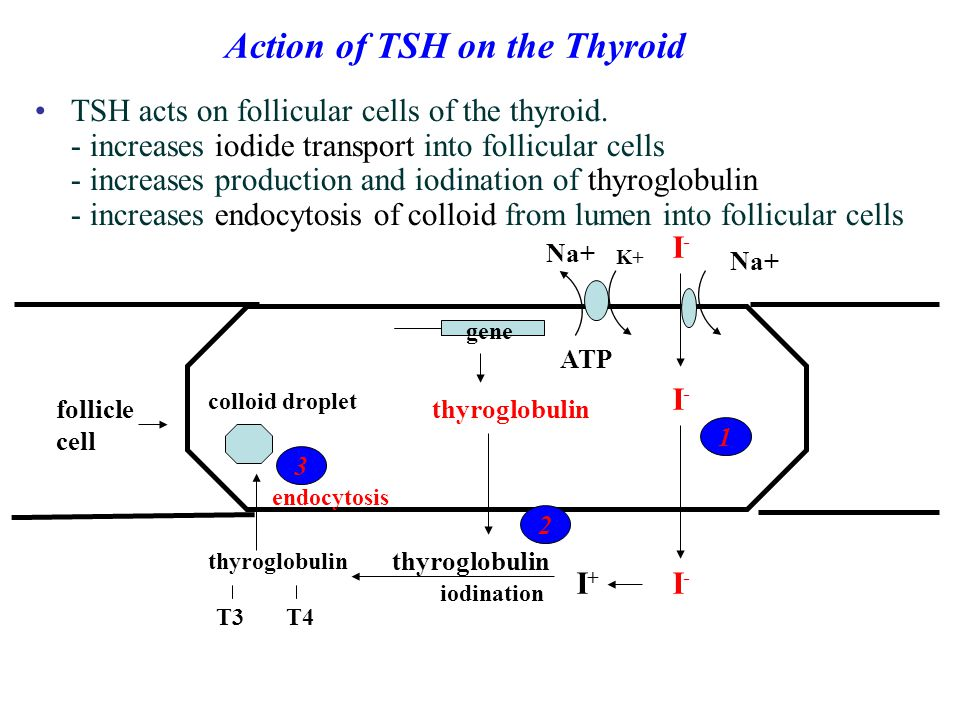 Action of TSH on the Thyroid