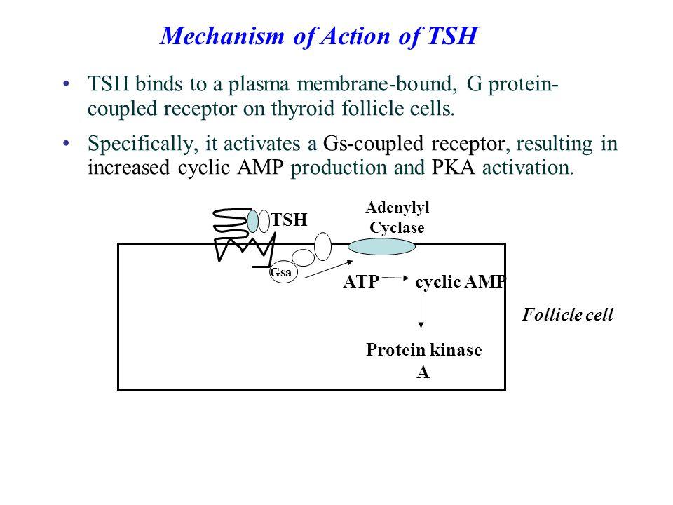 Mechanism of Action of TSH