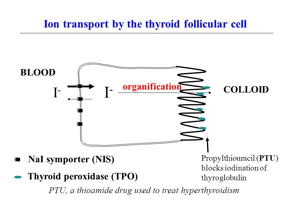 Ion transport by the thyroid follicular cell