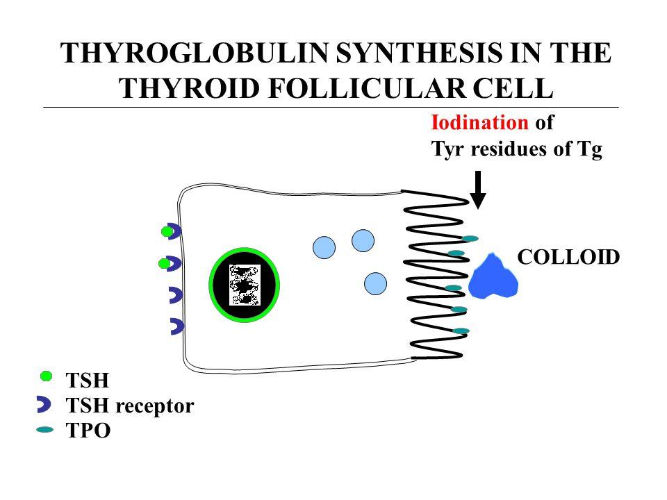 THYROGLOBULIN SYNTHESIS IN THE THYROID FOLLICULAR CELL