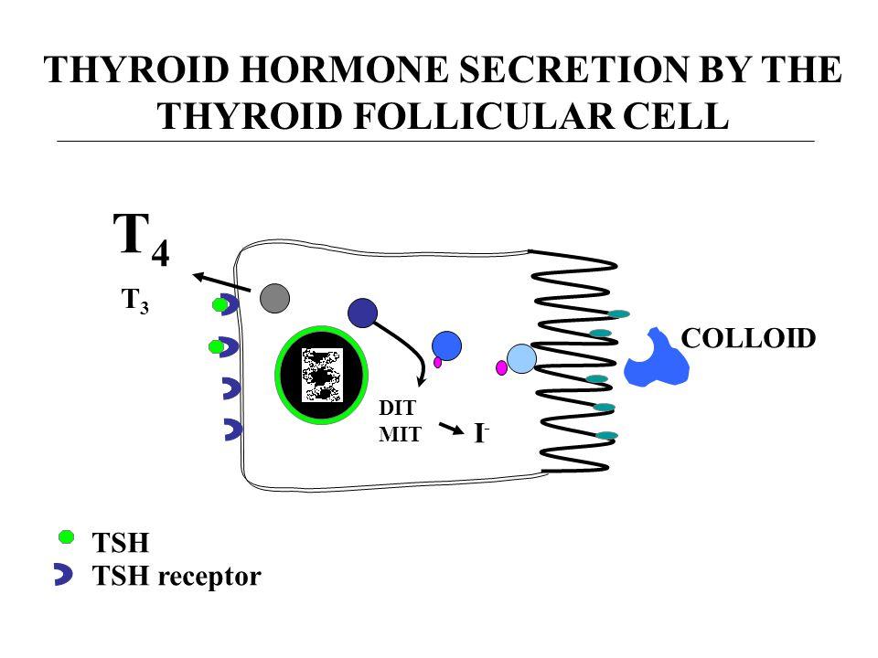 THYROID HORMONE SECRETION BY THE THYROID FOLLICULAR CELL