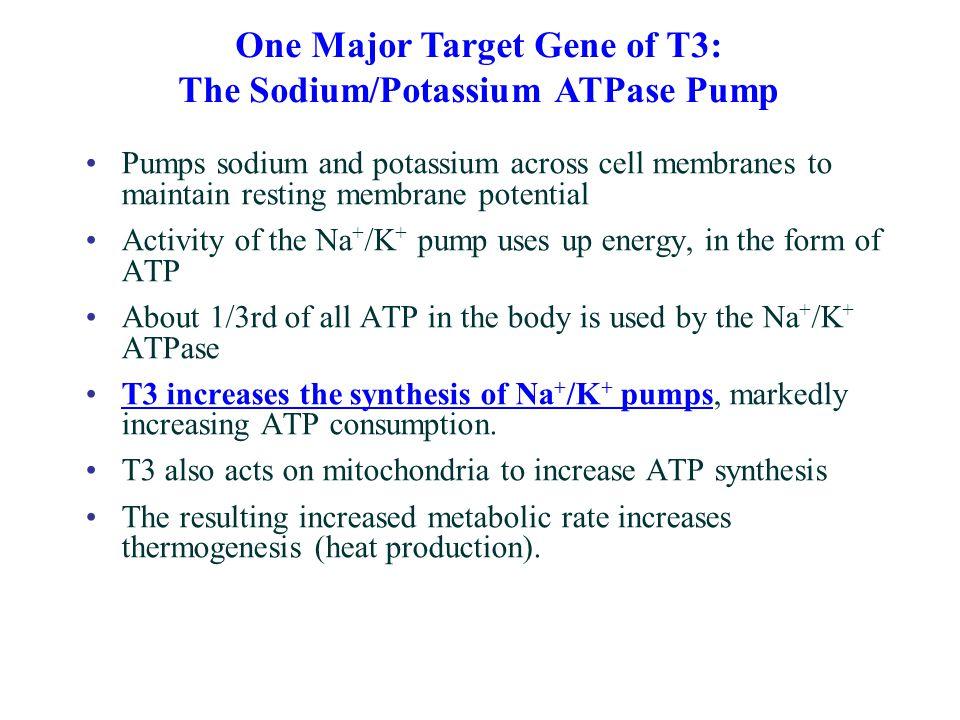 One Major Target Gene of T3: The Sodium/Potassium ATPase Pump