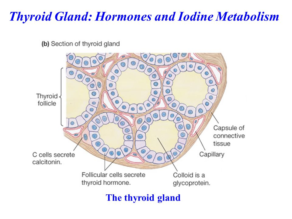 Thyroid Gland: Hormones and Iodine Metabolism