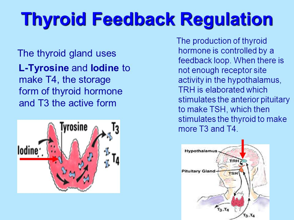 Thyroid Feedback Regulation