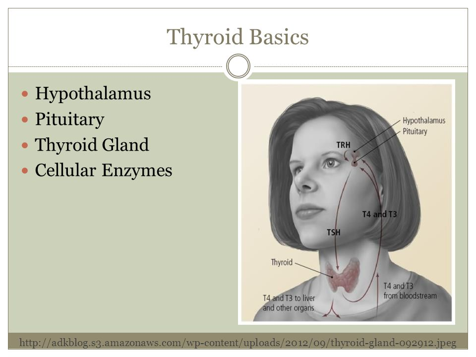 Thyroid Basics Hypothalamus Pituitary Thyroid Gland Cellular Enzymes