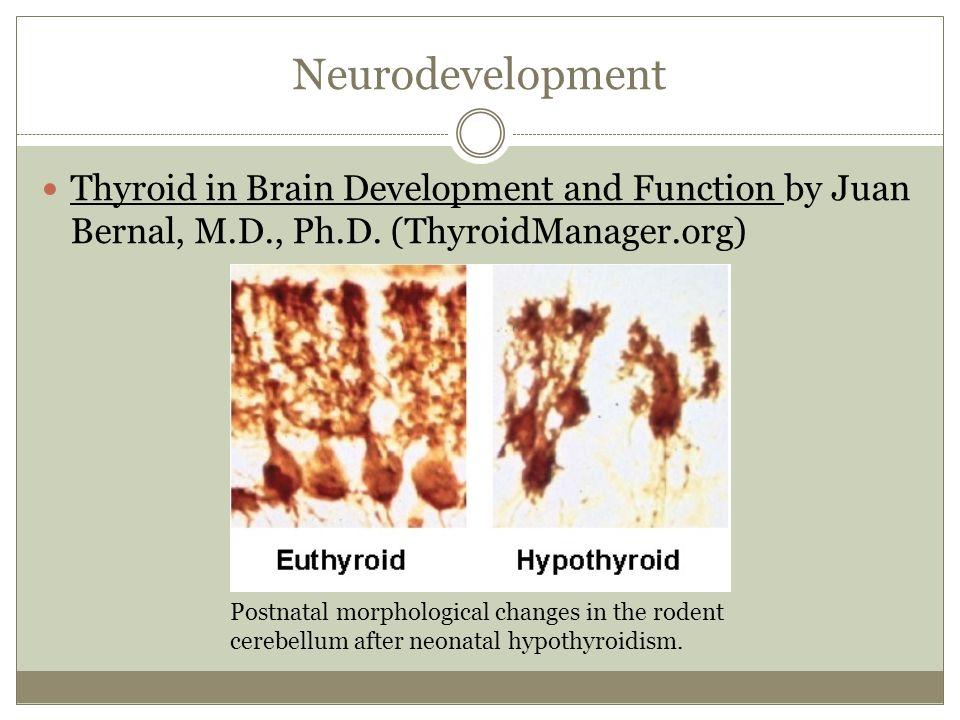 Neurodevelopment Thyroid in Brain Development and Function by Juan Bernal, M.D., Ph.D. (ThyroidManager.org)