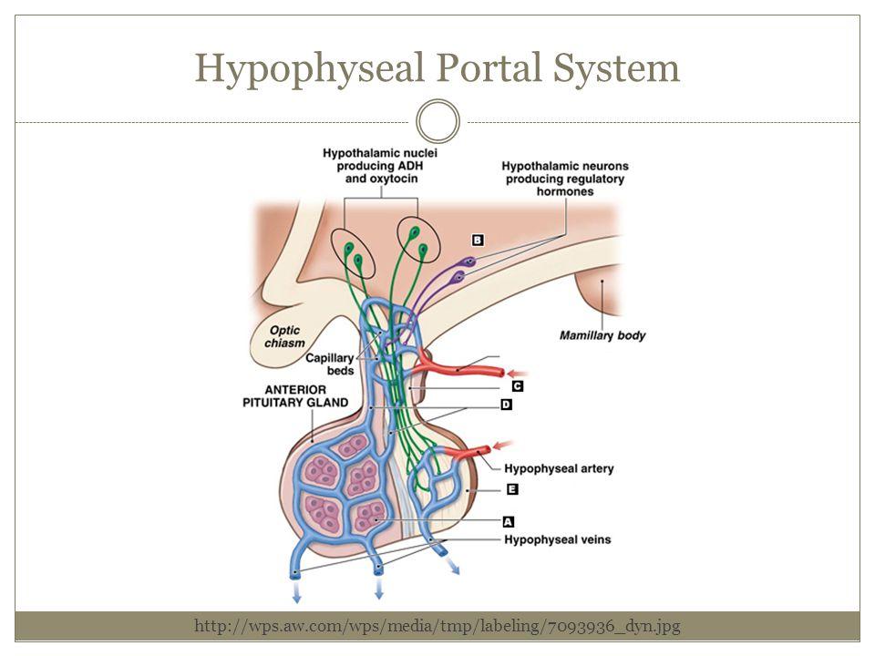 Hypophyseal Portal System