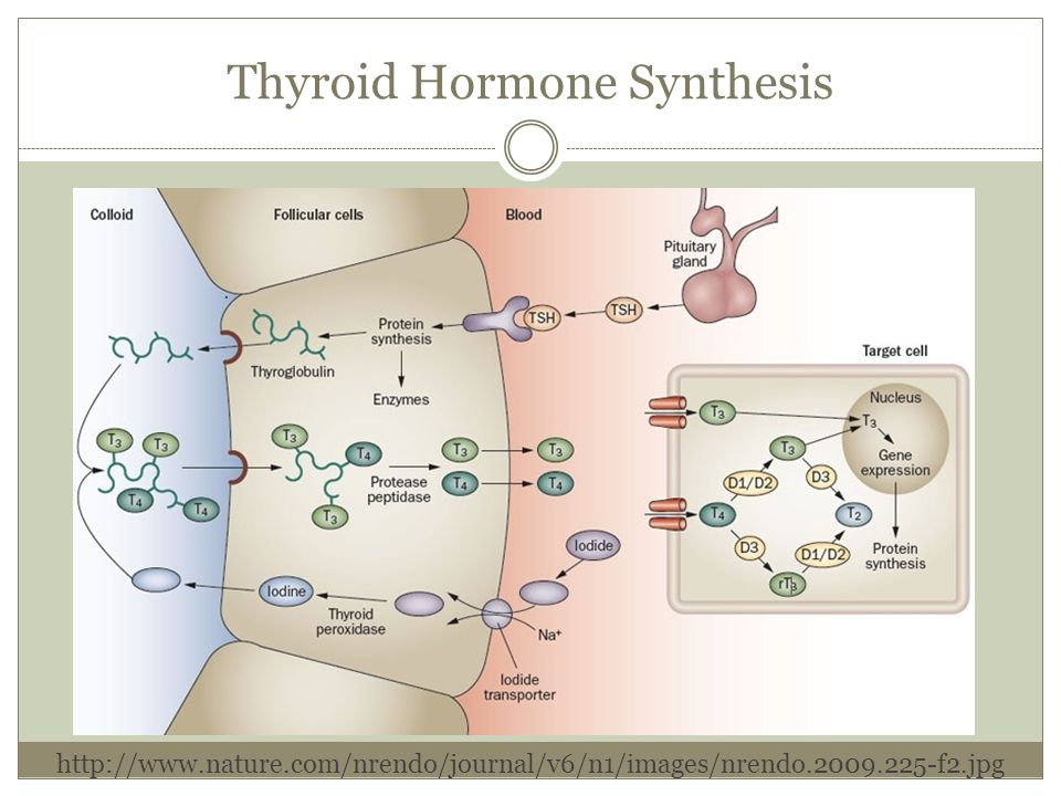 Thyroid Hormone Synthesis
