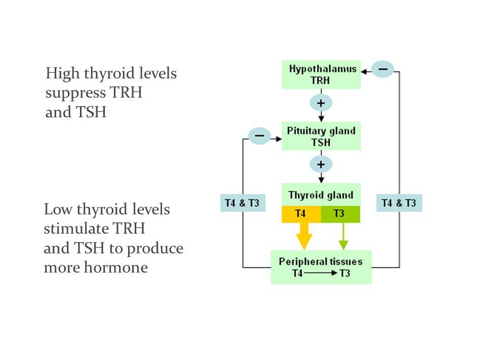 High thyroid levels suppress TRH and TSH Low thyroid levels