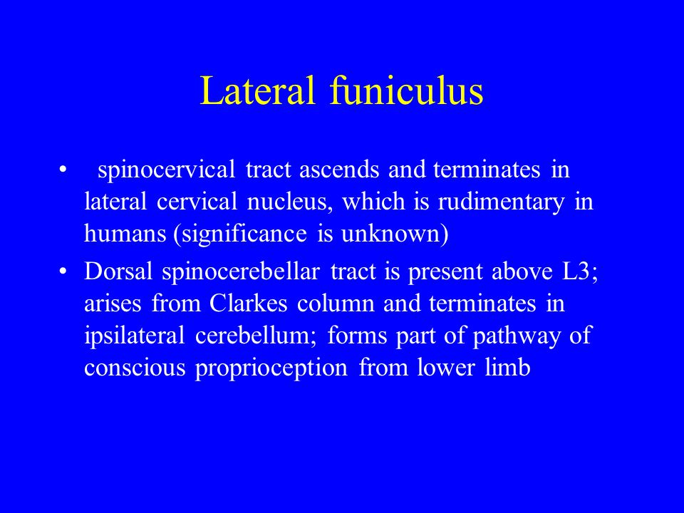 Lateral funiculus spinocervical tract ascends and terminates in lateral cervical nucleus, which is rudimentary in humans (significance is unknown)