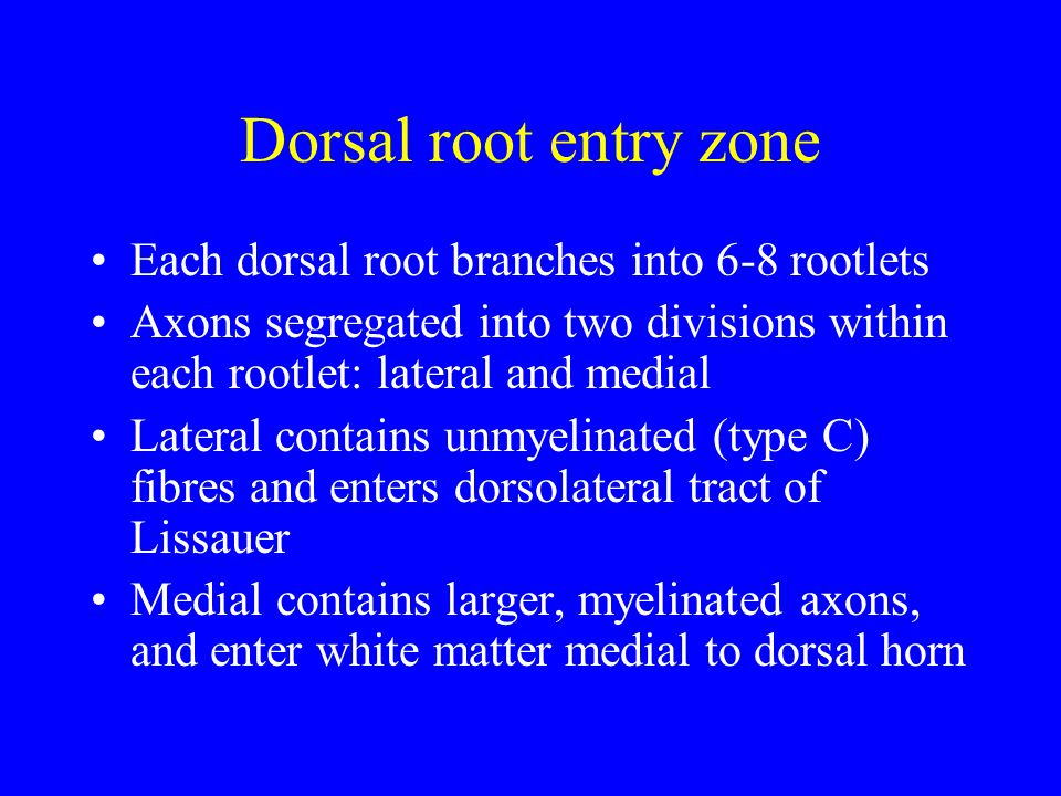 Dorsal root entry zone Each dorsal root branches into 6-8 rootlets