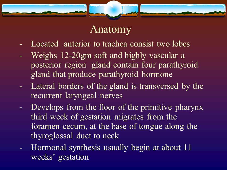 Anatomy - Located anterior to trachea consist two lobes
