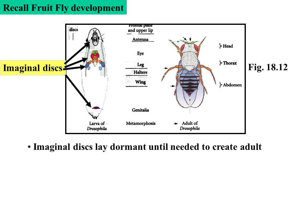 Recall Fruit Fly development