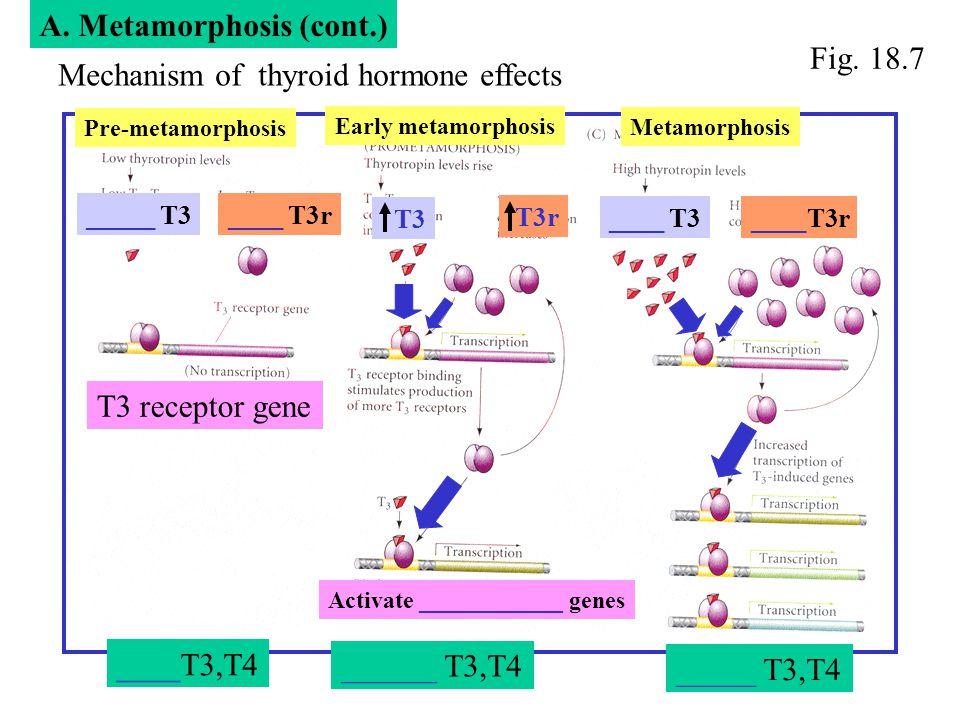 A. Metamorphosis (cont.) A. Metamorphosis (cont.) Fig. 18.7