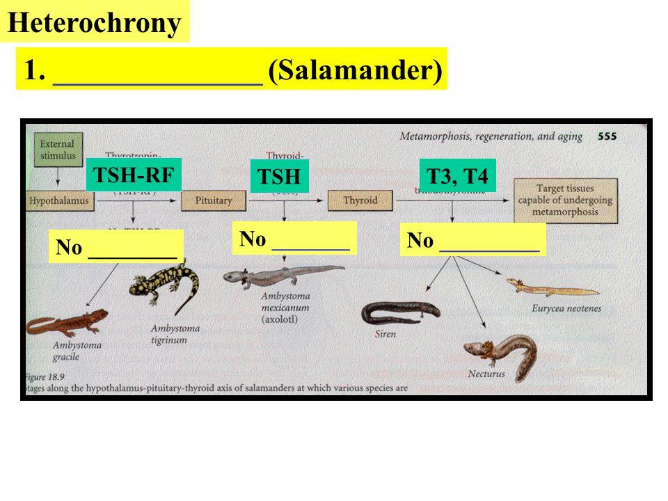 1. ______________ (Salamander)