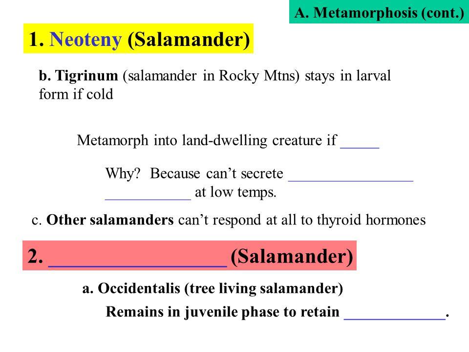 2. _________________ (Salamander)