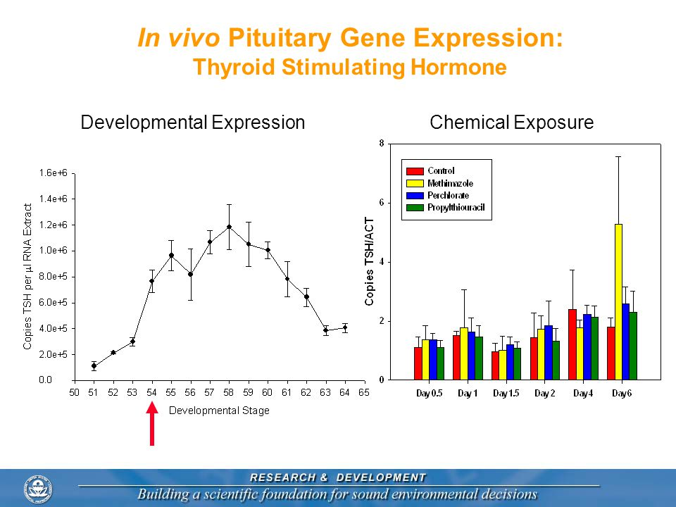 In vivo Pituitary Gene Expression: Thyroid Stimulating Hormone