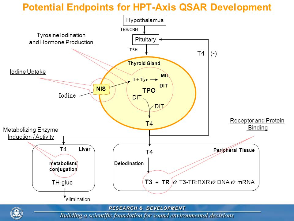 Potential Endpoints for HPT-Axis QSAR Development